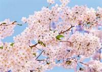 Весна  ПРЕМИУМ  фотообои  ТП  8 л.  272х194см